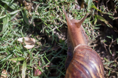 Giant African snail, Achatina fulica, an invasive species in Hawai`i and Guam.