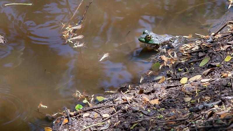 American bullfrog, Rana catesbeiana, an invasive frog in Hawai`i