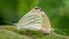 Cabbage butterfly, Pieris rapae, a nonnative pest of Hawaii's farms and gardens.