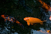 Koi, Cyprinus carpio, a nonnative freshwater fish in Hawai`i