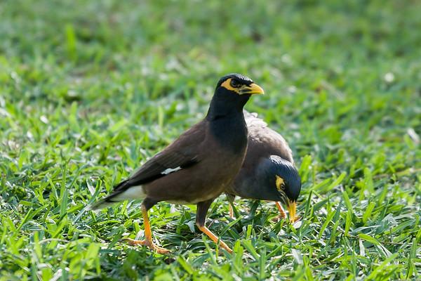Pacific Islands Animals - Nonnative