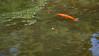Koi, Cyprinus carpio, a nonnative freshwater fish in Hawai`i