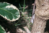 Brown anole, Anolis sagrei, a nonnative reptile in Hawai`i.