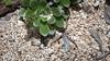 Small carpenter bee, Ceratina entipes, a nonnative bee in Hawai`i
