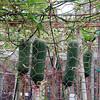 Luffa, Luffa cylindrica, a cultivated plant of Hawai`i
