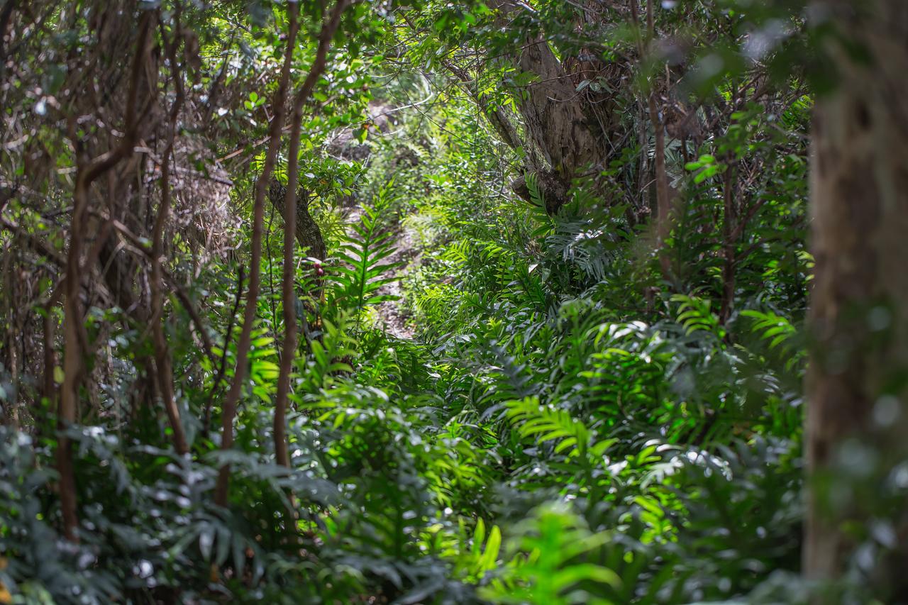 Laua`e, Phymatosorus grossus, a nonnative fern in Hawai`i and indigenous fern of American Samoa