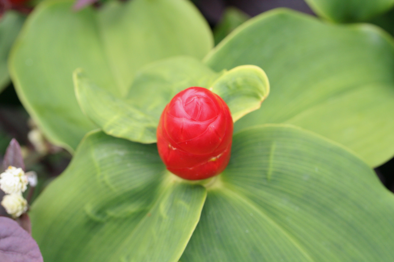 Spiral flag, Costus sp., a nonnative species in Hawaii.