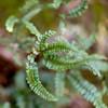 Rough maindenhair fern, Adiantum hispidulum, a nonnative fern in Hawaii.