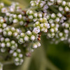 Tree heliotrope, Heliotropium foerthianum, a nonnative tree in Hawaii and indigenous tree in other parts of the Pacific.