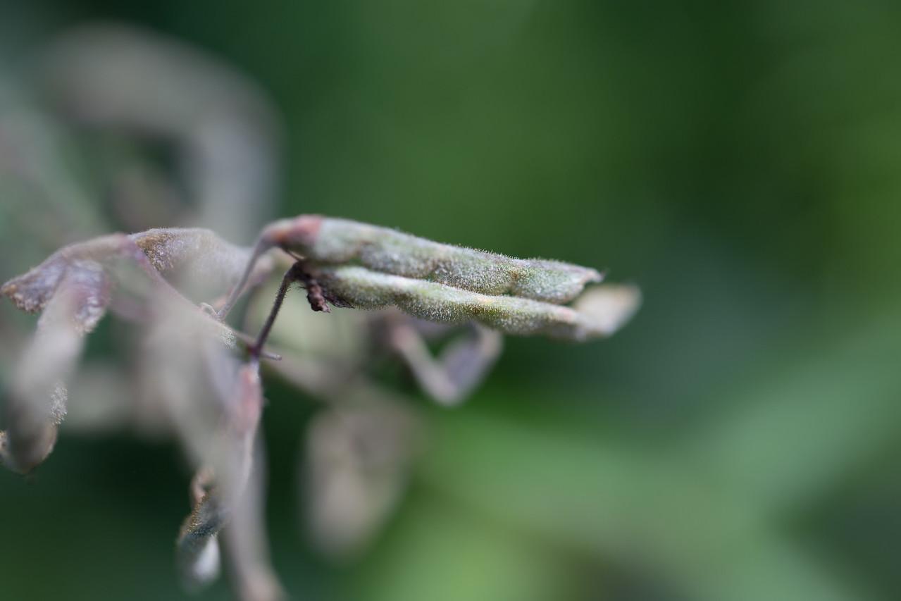 Spanish clover, Desmodium sandwicense, a nonnative weed of Hawaii