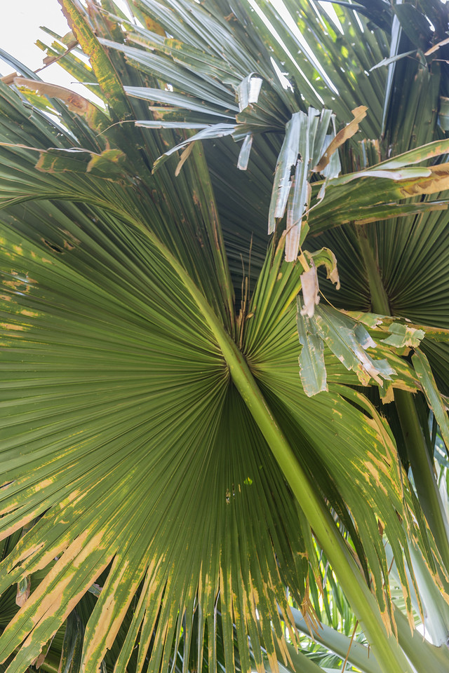 Talipot palm, Corypha umbraculifera, a cultivated palm in Hawaii.