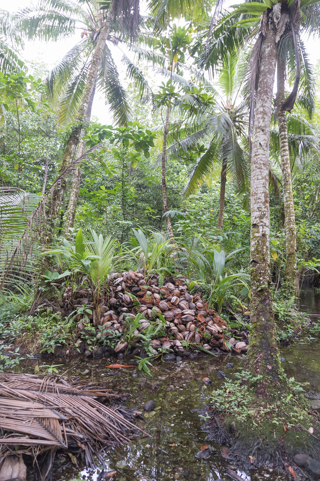 Nih, Cocos nucifera, a nonnative palm of Micronesia and other Pacific islands, growing at Nan Madol, Pohnpei, FSM