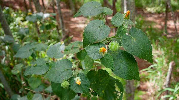 Hairy abutilon, or ma`o, Abutilon grandifolium, a non-native plant in Hawaii.