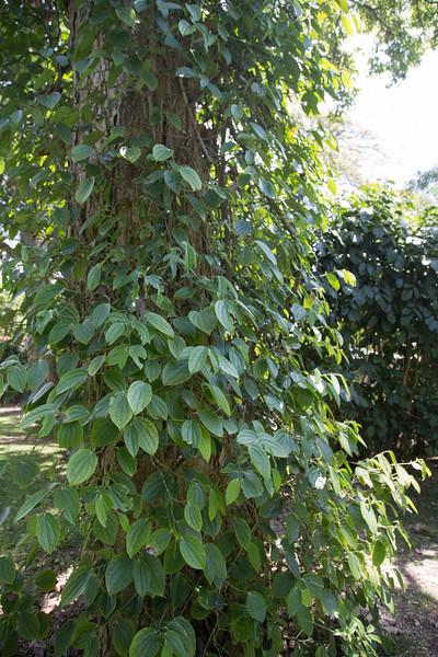 Black pepper, Piper nigrum, a cultivated spice in Hawai`i