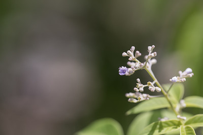 Blue vitex, Vitex trifolia, a nonnative tree in Micronesia, growing in Utwa Ma Marine Protected Area, Kosrae, FSM