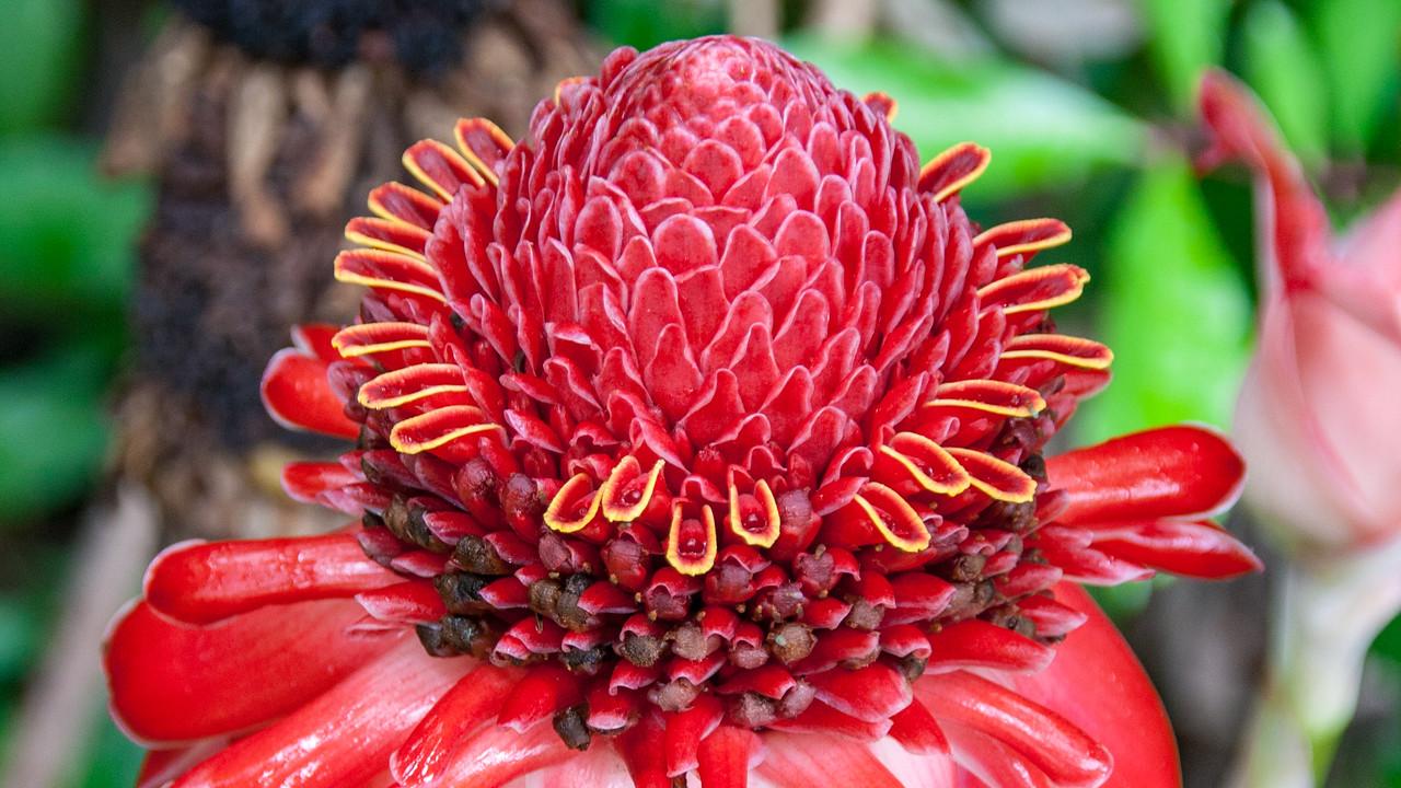 Torch ginger, Etlingera elatior, a cultivated ginger of Hawai`i.