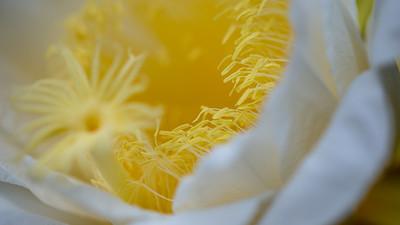 Night-blooming cereus, Hylocereus undatas, a cultivated and naturalized cactus of Hawai`i