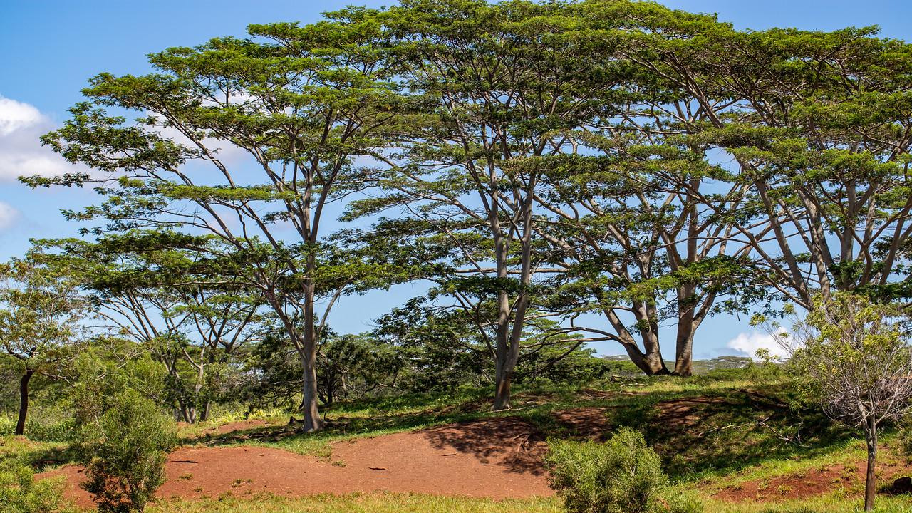 Albizia, Falcataria moluccana, a nonnative invasive tree in Hawai`i.