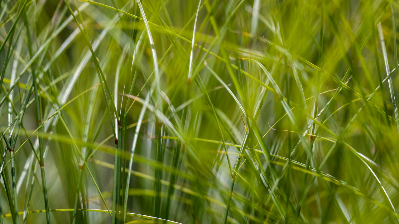 Papryus, Cyperus papyrus, a nonnative sedge in wetlands of Hawaii.