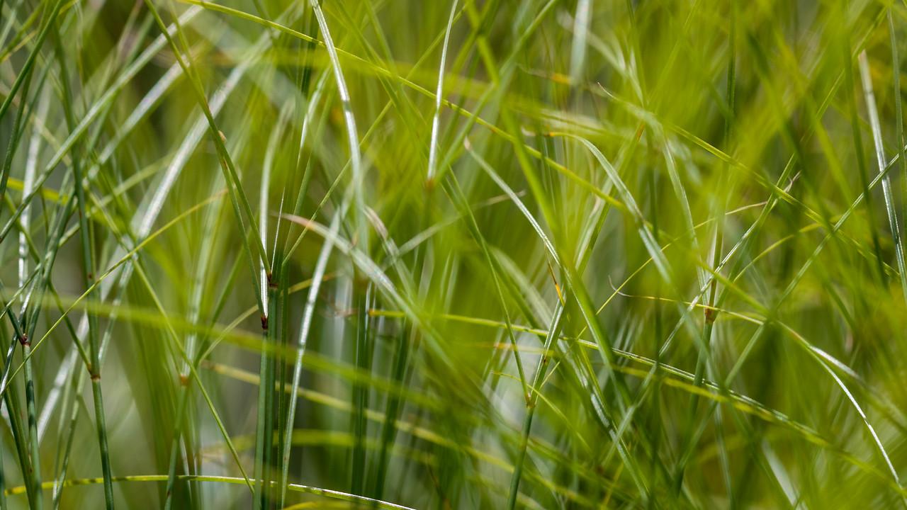 Papryus, Cyperus papyrus, a nonnative sedge in wetlands of Hawaii.