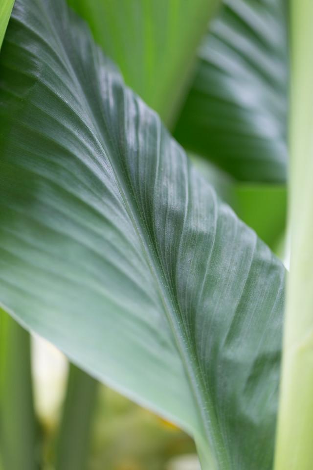 `Ōlena, Curcuma longa, a cultivated plant in Hawaii.