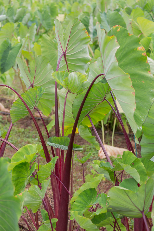Kalo, Colocasia esculenta 'Ula`ula Kumu', a cultivated crop of Hawaii.