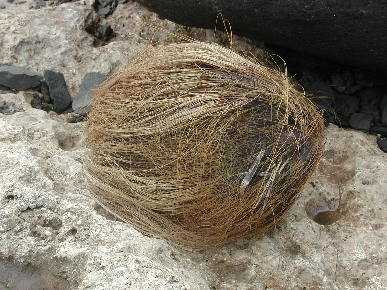 Coconut, Cocos nucifera, a nonnative palm of Hawaii.