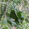 Mwahng, Cyrtosperma merkusii, a nonnative aroid, gorwing at Sokehs Mountain, Pohndollap, Pohnpei, FSM