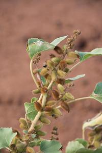 Kīkānia, Xanthium strumarium var. canadense, a nonnative plant in Hawai`i