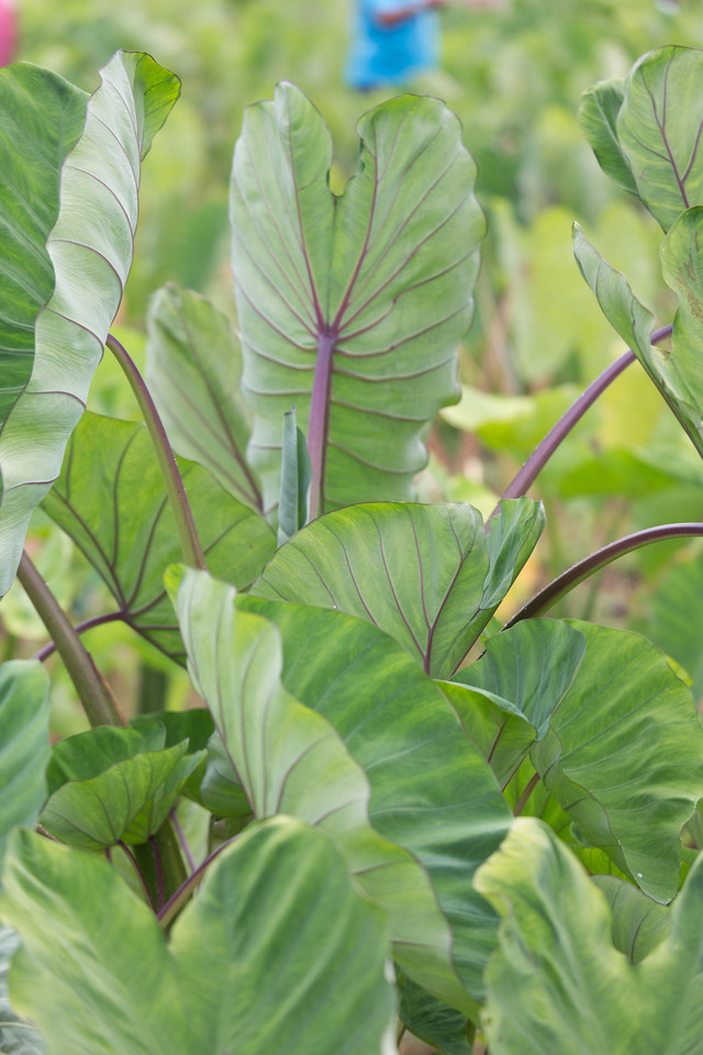 Kalo, Colocasia esculenta 'Bun Long', a cultivated crop of Hawaii.
