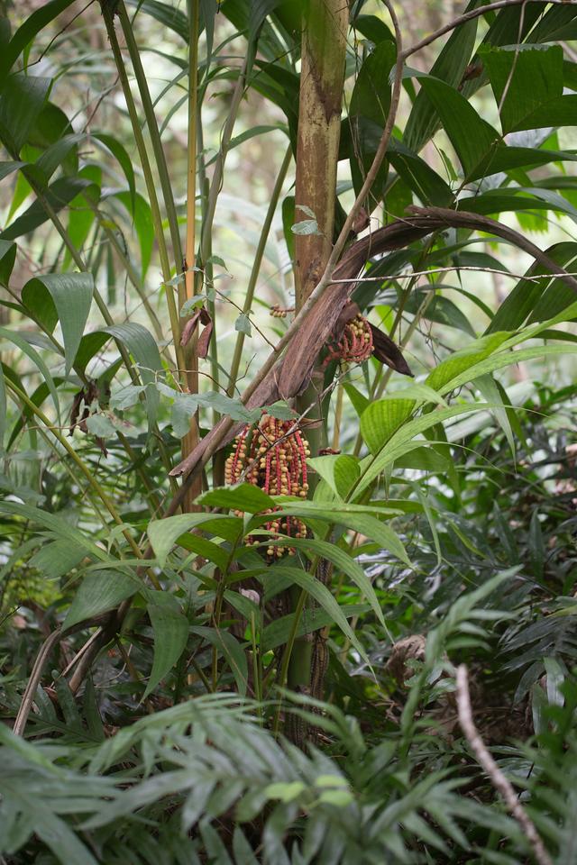 Kuhl's palm, Pinanga coronata, a nonnative palm of Hawai`i