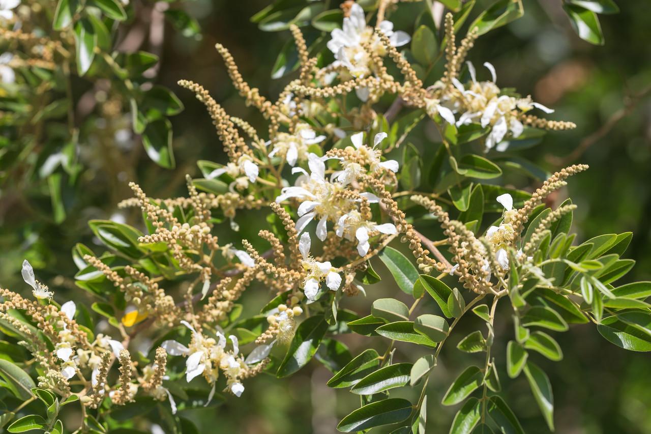 Tree heliotrope, Cyathostegia mathewsii, a nonnative cultivated tree in Hawaii. This one growing at Foster Botanical Garden in Honolulu, O`ahu, Hawai`i.