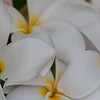 Plumeria, Plumeria rubra, a cultivated tree of Hawai`i and other Pacific Islands.