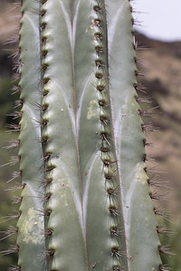 Guanocal, Stenocereus eichlamii, a cultivated cactus in Hawai`i, this one at Koko Crater Botanical Garden, O`ahu, Hawai`i