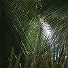Nih, Cocos nucifera, a nonnative palm of Micronesia and other Pacific islands, growing on northeastern sland of Ant Atoll, Pohnpei, FSM