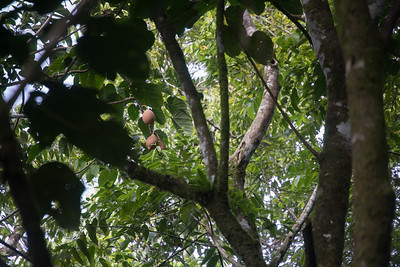 Duhrien, Pangium edule, a nonnative tree of Micronesia, growing on Sokehs Mountain, Pohndollap, Pohnpei, FSM