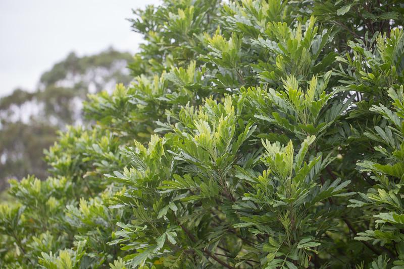 Fern tree, Filicium decipiens, a culitvated and nonnative tree in Guam and Hawai`i