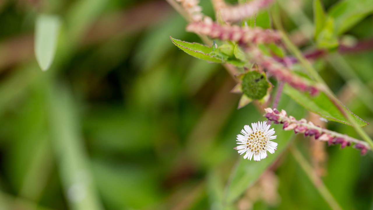 False daisy, Eclipta prostrata, a nonnative plant in Hawai`i.