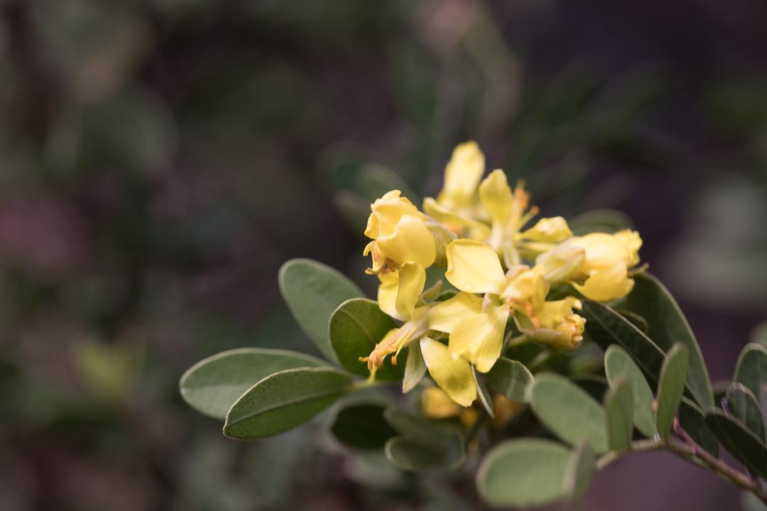 Yeheb bush, Cordeauxia edulis, a cultivated shrub in Hawai`i, this one growing at Koko Crater Botanical Garden, O`ahu, Hawai`i