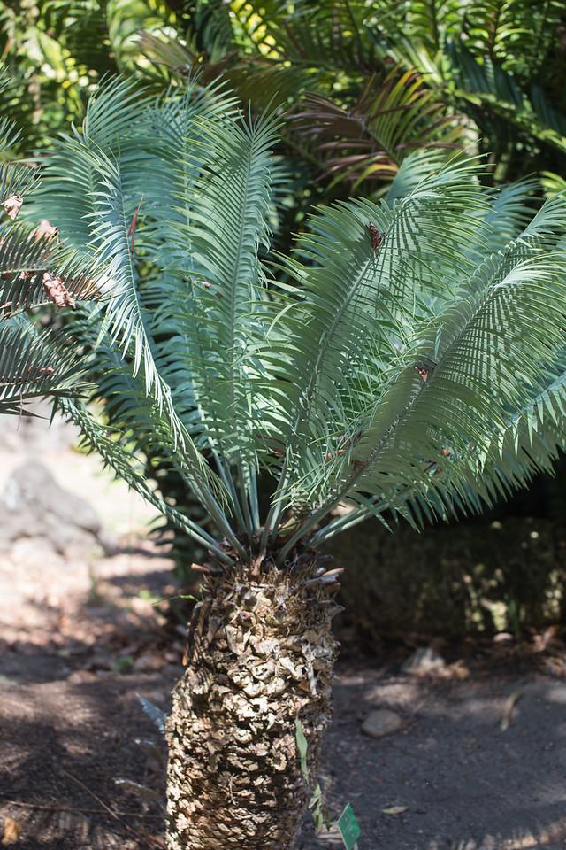 Lydenburg cycad, Encephalartos inopinus, a cultivated cycad in Hawai`i, this one growing at Foster Botanical Garden, Honolulu, O`ahu, Hawai`i