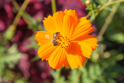 Mexican aster, Cosmos sulphureus, a cultivated plant in Hawaii.