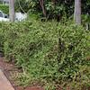 Elephant bush, Portulacaria afra, a cultivated shrub of Hawai`i