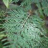 Silk oak, Grevillea robusta, a nonnative invasive tree in Hawai`i