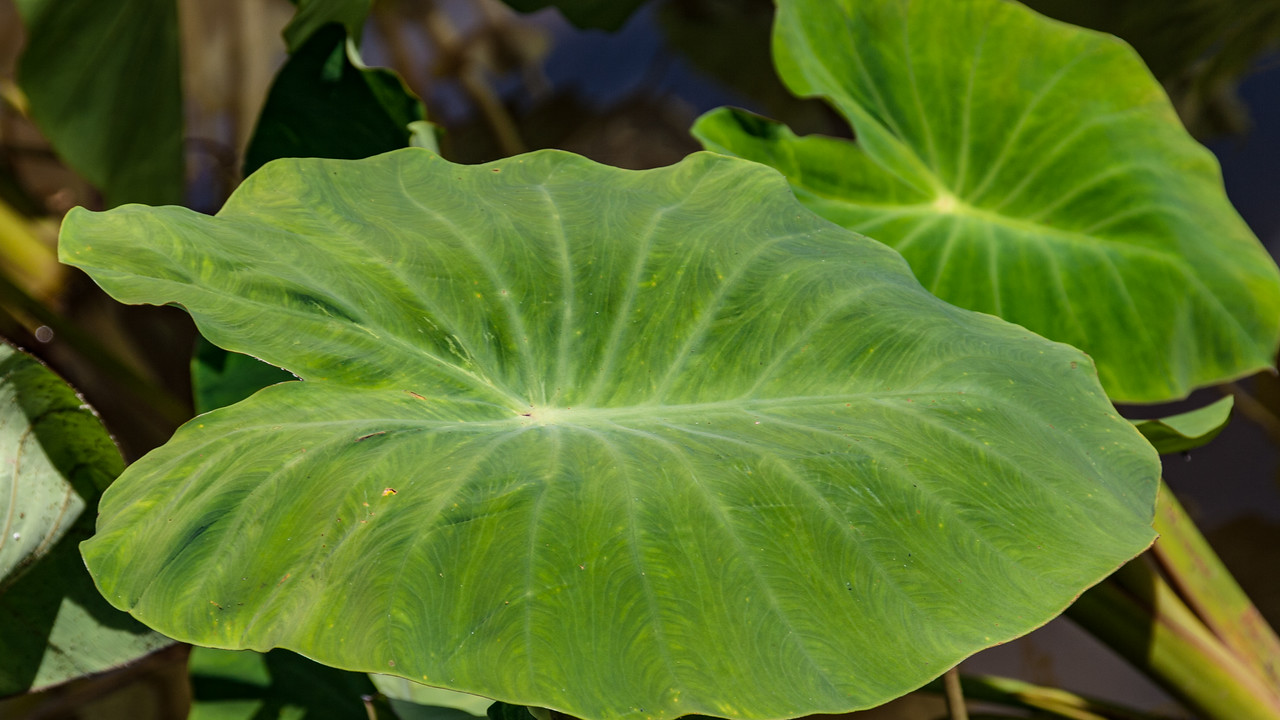 Kalo, Colocasia esculenta, an aboriginal introduction and cultivated crop of Hawaii.