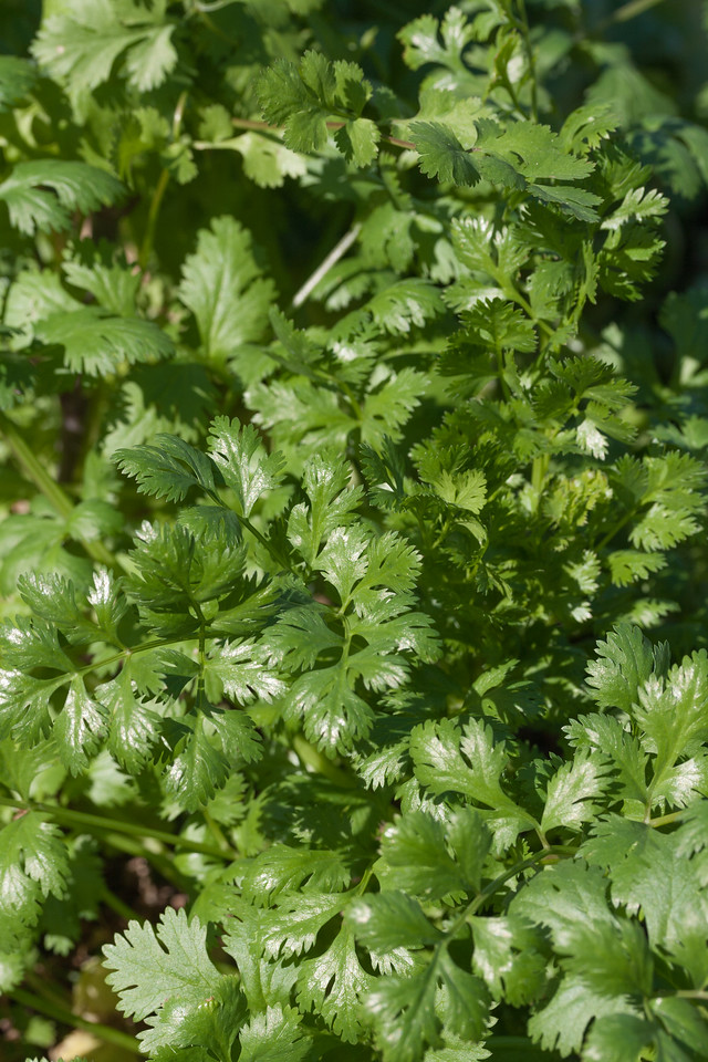 Corriander, Coriandrum sativum, a cultivated and naturalized plant in Hawaii.