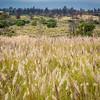 Fountain grass, Cenchrus setaceus, a nonnative invasive grass of Hawai`i
