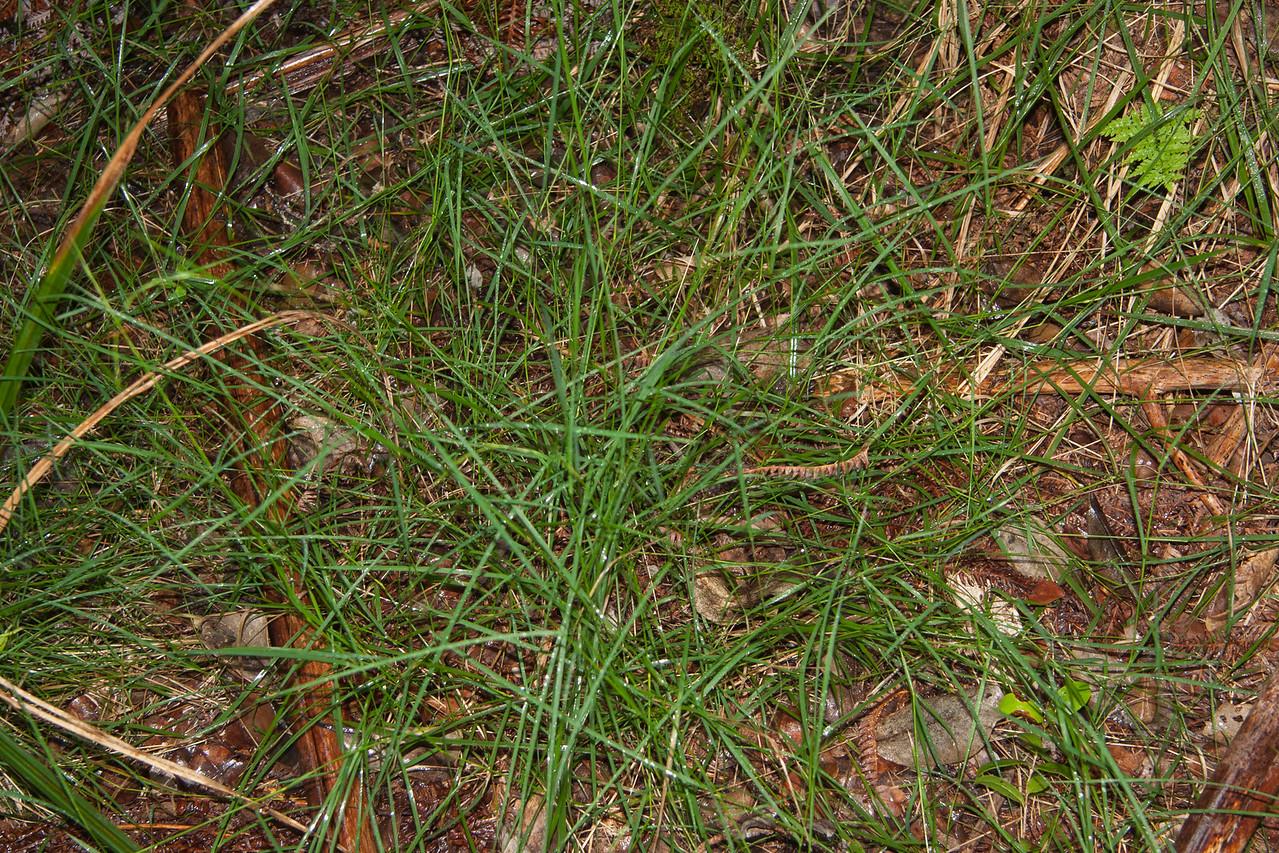 Meadow ricegrass, Ehrharta stipoides, a nonnative grass in Hawai`i