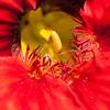 Nasturtium, Tropaeolum majus, a cultivated herb in Hawai`i