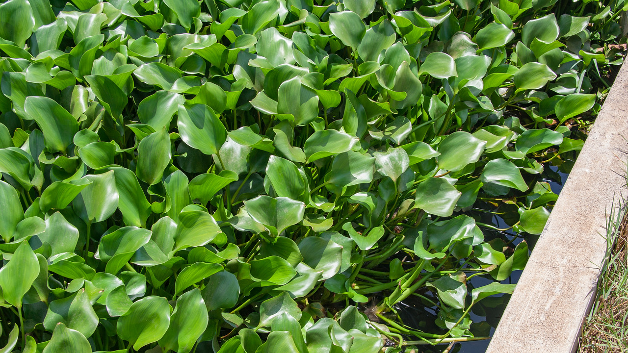 Water hyacinth, Eichhornia crassipes, a nonnative water plant in Hawai`i, Guam, CNMI, Pohnpei, Palau and other Polynesia islands.