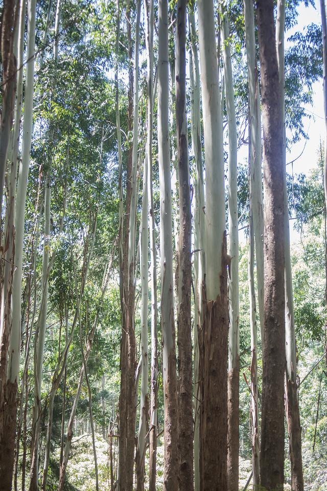 Eucalyptus grandis, a cultivated tree in Hawai`i